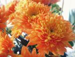 Morning marigolds by MagicMoonCat