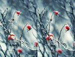 Winter berries -stereo image by Fanfnirr