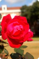 Campus Rose by Kelsey-Brown