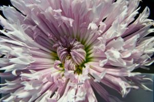Fringed Daisy by OneLittlePixel