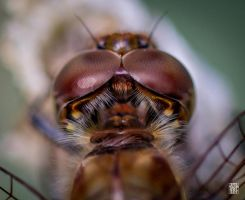 Eyes of the dragonfly by sylvaincollet