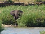 African Elephant Bull - Kruger National Park by IATSATH