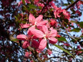 Tree with pink flowers by bettina-coman