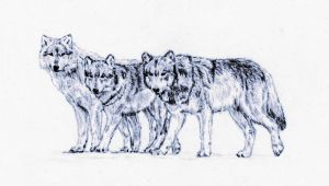 Three Wolves by Embers