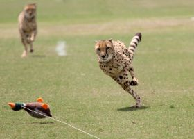 Cheetah Chase by Jack-13
