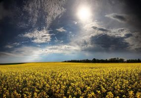 Golden fields by focusgallery