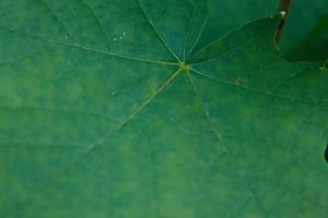 Leaf textur by Kavioli