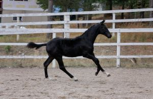 Black Warmblood Colt 009 by Notorious-Stock