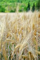 Wheat 2 by LucieG-Stock