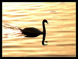 Swan In Sunset by skarzynscy