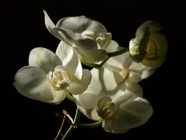White Moth Orchid 07 by botanystock