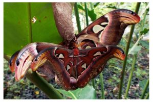 Three Atlas moths by kiew1
