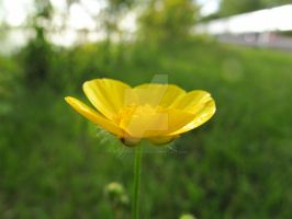 Little Yellow Flower In The Feild by POETRYTHROUGHLENS