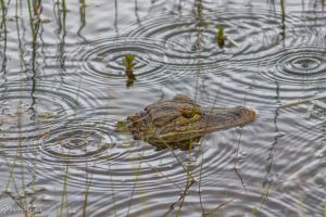 Baby gator in the rain by CyclicalCore