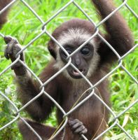 Baby White Handed Gibbons by Kogalover-Zoe