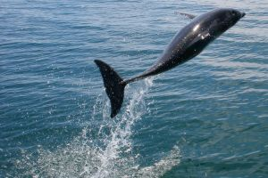 Dolphin Jump II by Atmosphotography