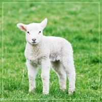 Lambs 05 by 0-Photocyte
