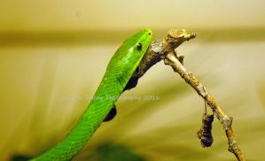 East African Green Mamba by MorrighanGW