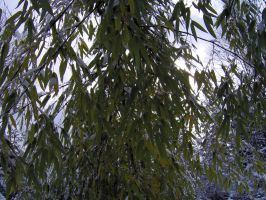 Bamboo in Snow 4 by hydestock