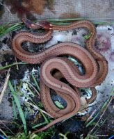 Red Belly Snakes 1 by seto2112