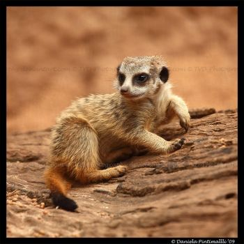 Baby Meerkat by TVD-Photography