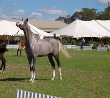 TW arab grey white face show pose head up by Chunga-Stock