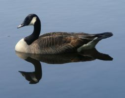 Canadian Goose by PaganFireSnake
