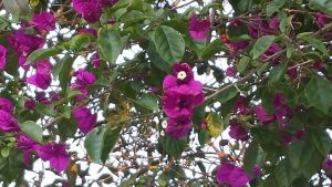 Bouganvillea by Roses-and-Feathers
