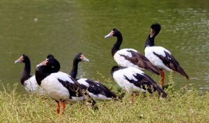 Magpie Geese. by wolftraz