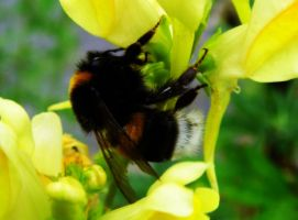 Bumble Bee by 04katty