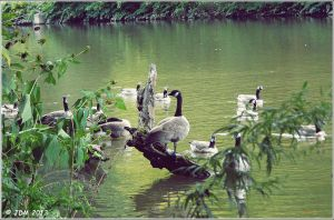 Geese On the Creek. by JDM4CHRIST