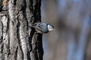 A typical Nuthatch pose by sgt-slaughter