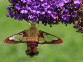 Snowberry Clearwing Moth 3 by LadyLyonnesse