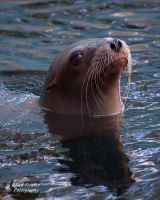 Sea Lion by EdgedFeather