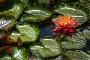 HDR Waterlillies by braxtonds