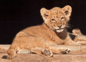 Lion Cub 7982 by robbobert
