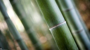 Bamboo by burningmonk