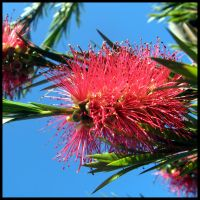 Bottle Brush Flower by amyhooton