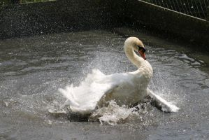 Swan by Loves2dive