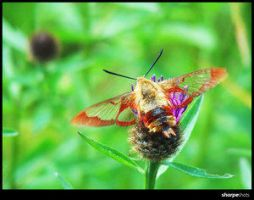 Hummingbird Clearwing Moth by Insect-Lovers-Club