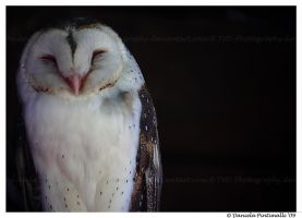 Barn Owl: Happy Face by TVD-Photography