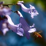 Bee approaches jacaranda by wildplaces