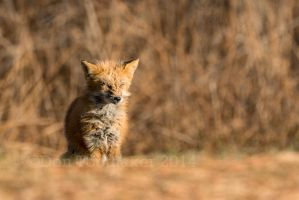 Sick Fox DT8 5251-2 by detphoto