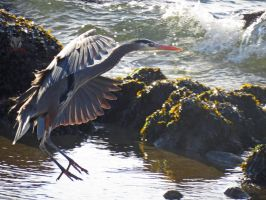 Great Blue Heron Landing by wolfwings1