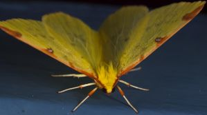 Yellow Butterfly - 1 by sheihulud
