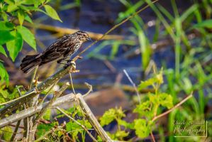Female Red-winged Blackbird 7 by ClaudeP-Photography