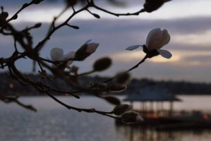 Magnolias at the Lake by Hysazu