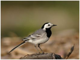 Pied Wagtail by nakitez