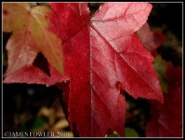 Red Leaf by texasghost