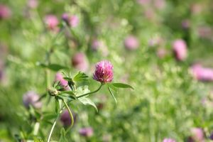 Red Clover by JetteReitsma